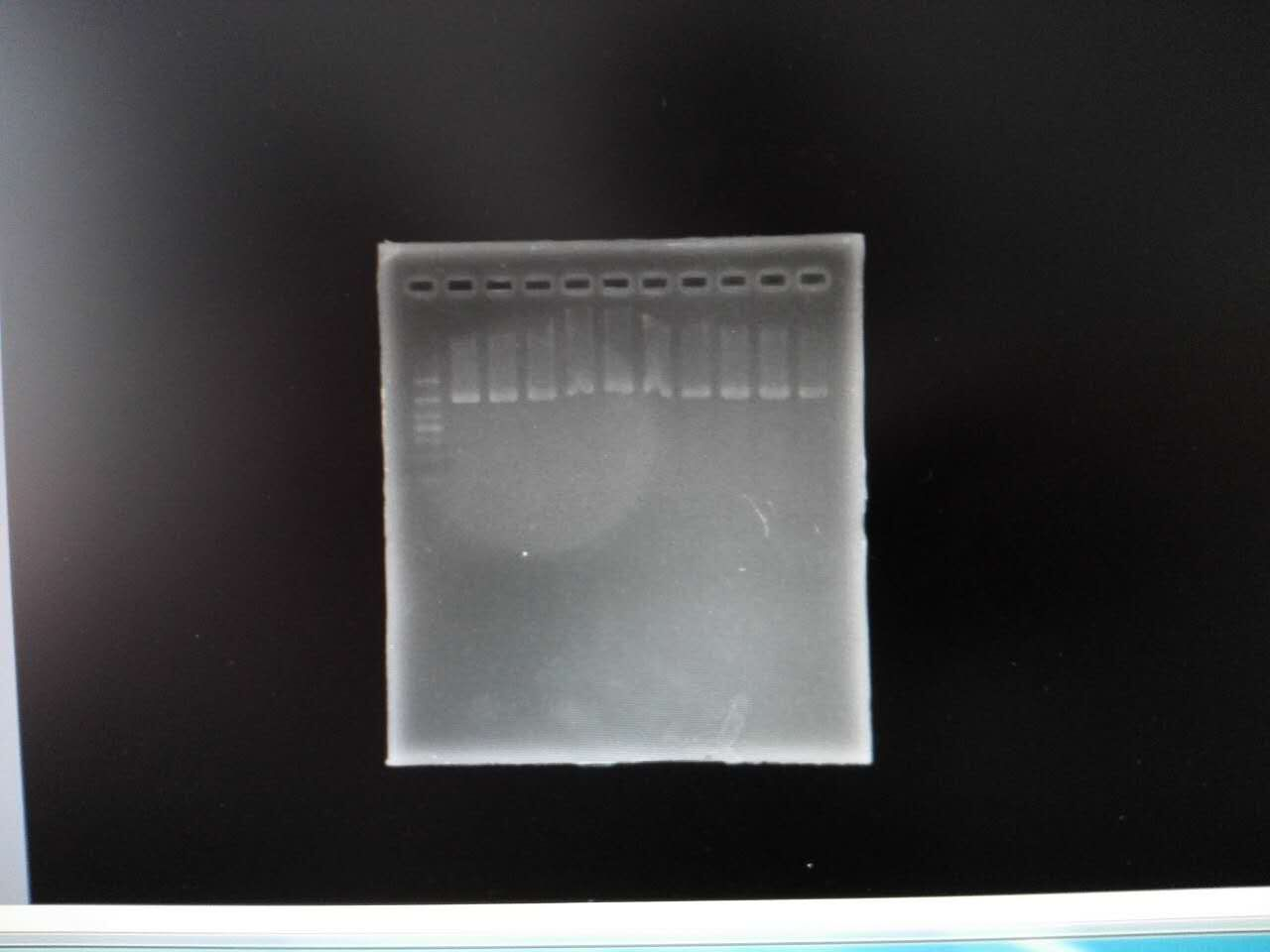 Gel image of 10 specimens